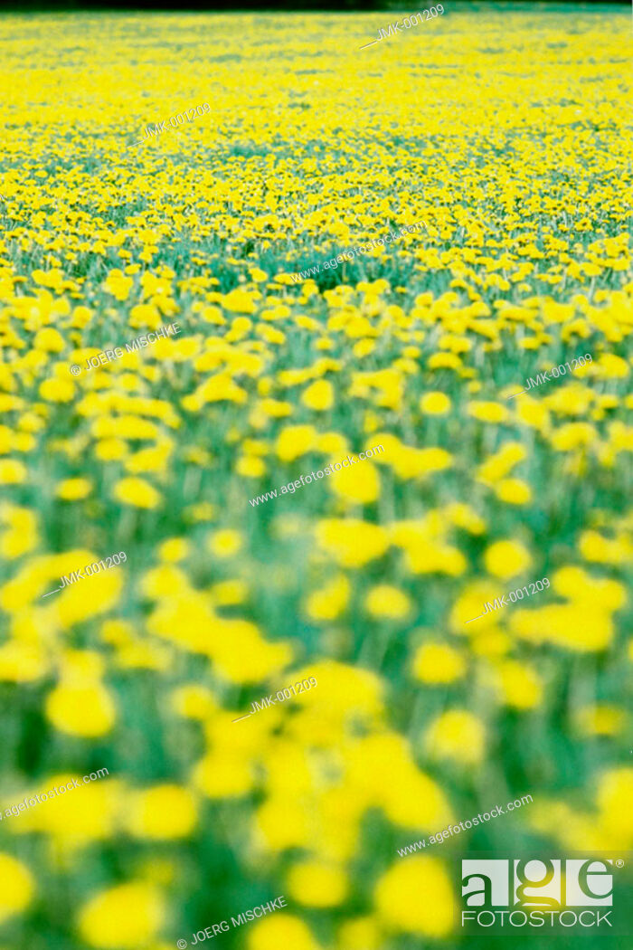 Stock Photo: Meadow with blooming dandelion, blurred.