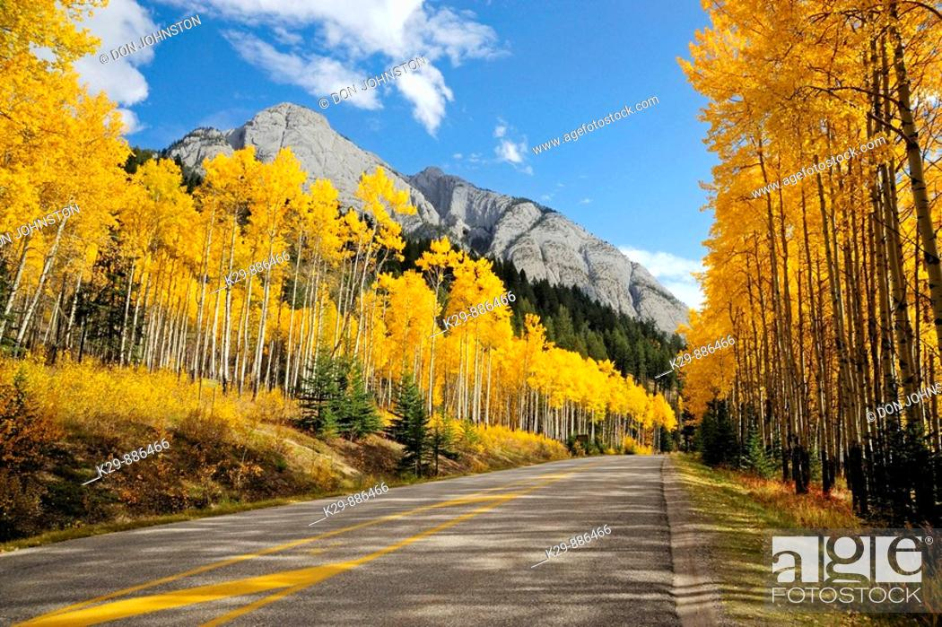 Stock Photo: Autumn aspens along the Bow Valley Parkway.