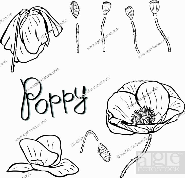 Stock Vector: flower details: buds, stems and poppies, contour pattern isolated on white background.