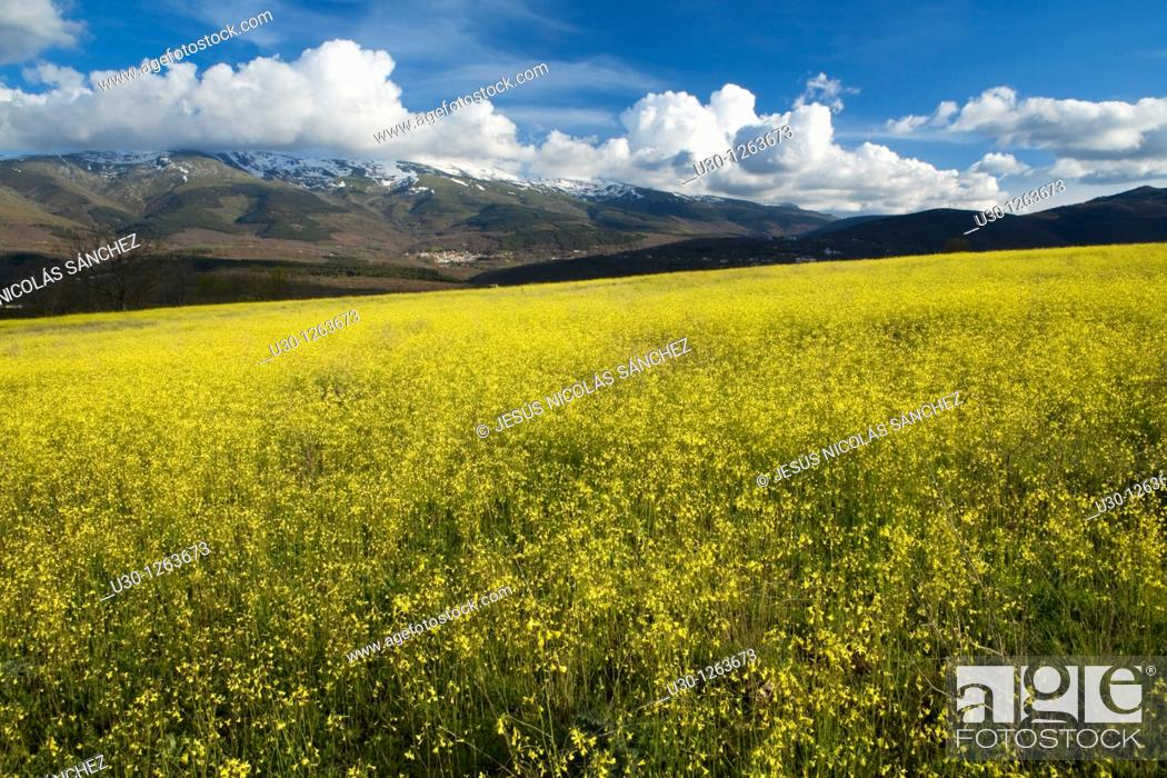 Stock Photo: Overview of Sierra de Béjar from yellow field of Brassica barrelieri, in Valdesangil, Salamanca province, Biosphere Reserve of Sierra de Béjar and Francia.