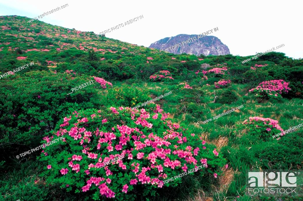 Korean Rosebay Field Mt Hallasan National Park Jeju Island Korea Stock Photo Picture And Rights Managed Image Pic Pic 653131 Agefotostock