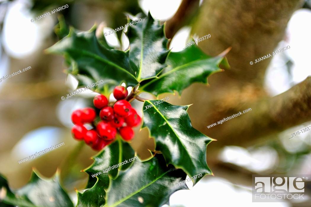 Stock Photo: Ilex aquifolium, common holly.