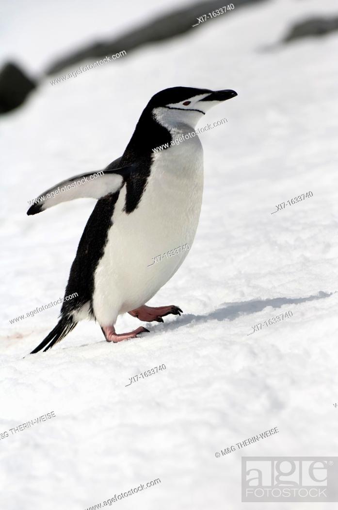 Stock Photo: Chinstrap penguin Pygoscelis Antarctica walking up a glacial ice cap, Half Moon Island, South Shetland Island, Antarctic Peninsula.