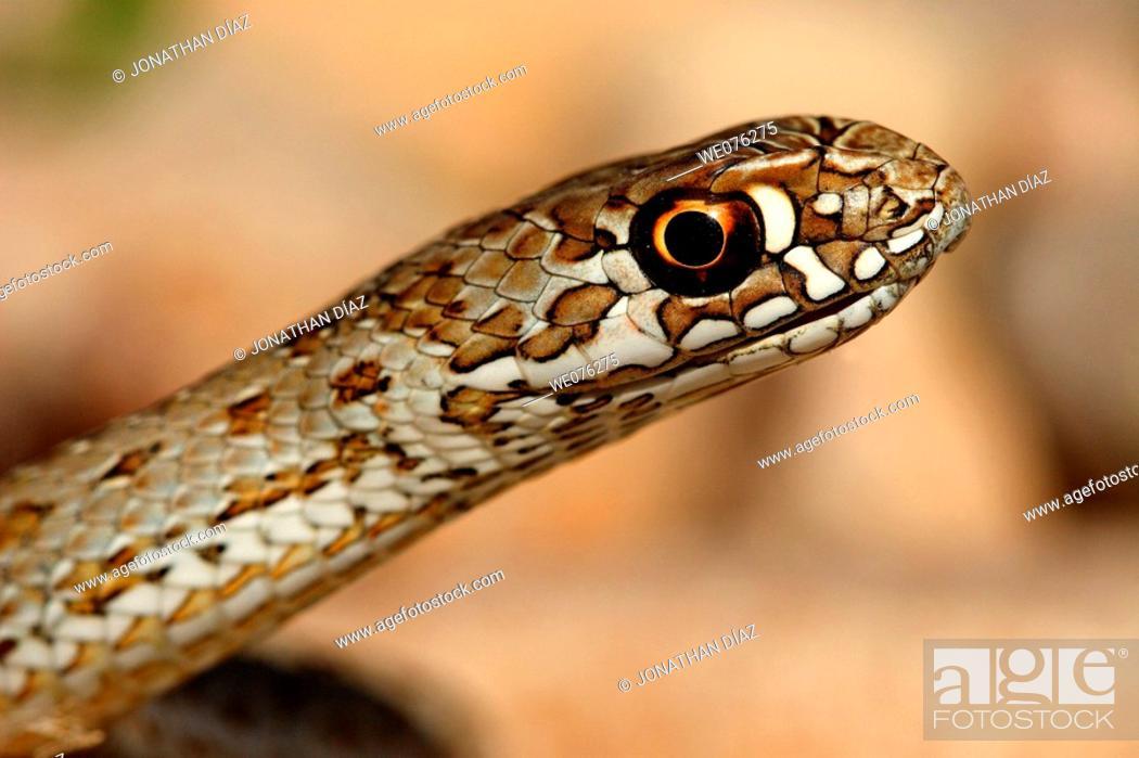 Stock Photo: Montpellier Snake (Malpolon monspessulanus).