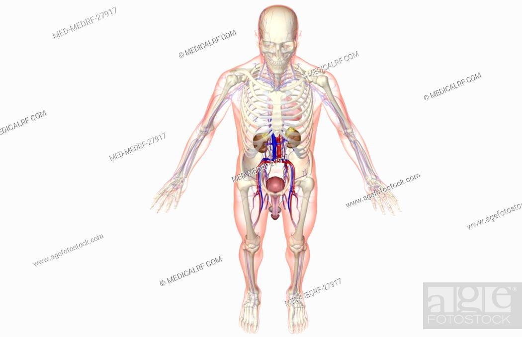Stock Photo: The urinary system.