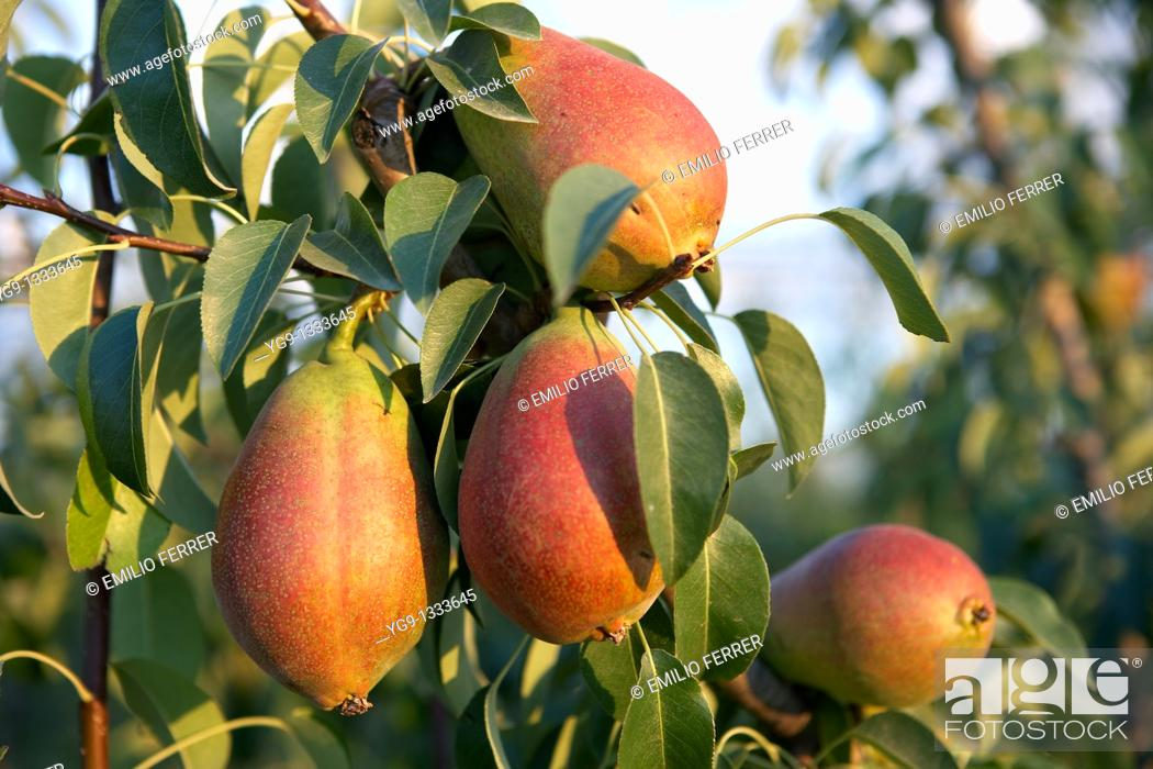 Stock Photo: Pears Deboe on a tree  LLeida  Spain.