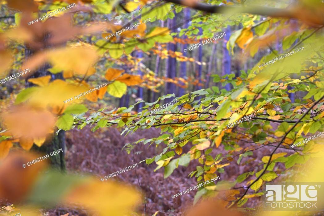 Stock Photo: feuillage d'automne de hetre, foret de Rambouillet, departement des Yvelines, region Ile de France, France, Europe/ beech's fall foliage, forest of Rambouillet.