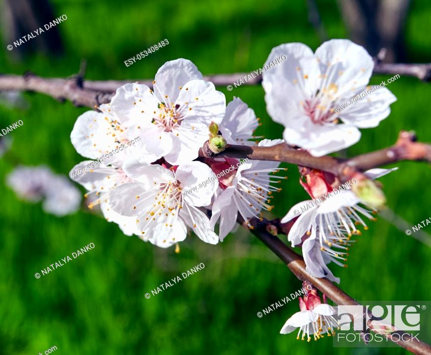 Stock Photo: cherry branches with white cherry flowers in the garden on a background of green grass.