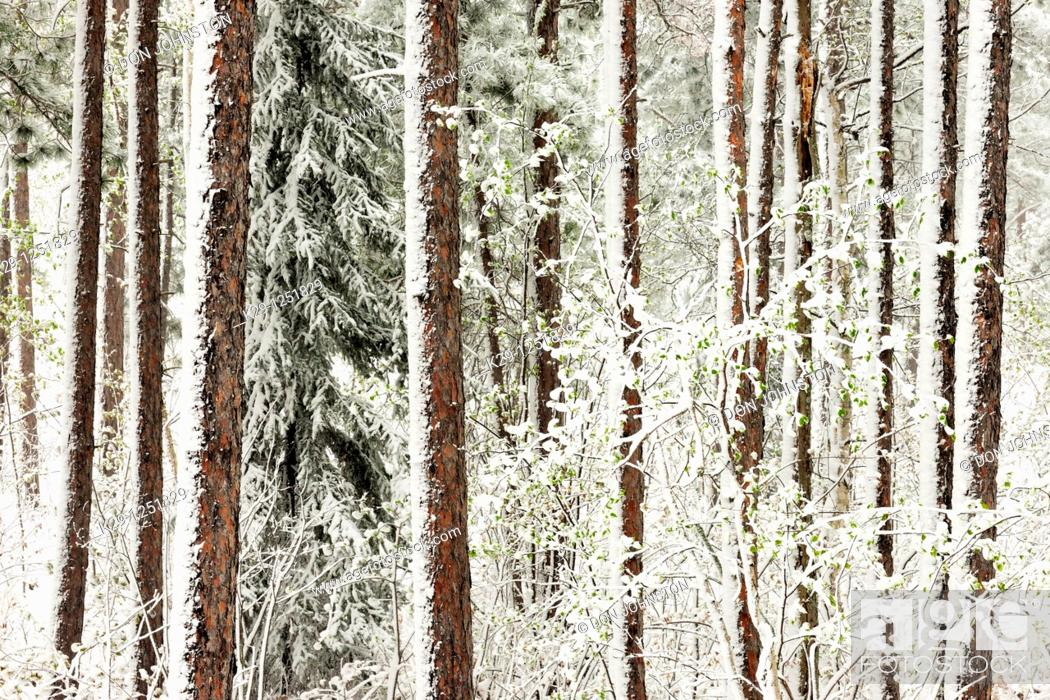 Stock Photo: Spring woodland in snowstorm. Ontario. Canada.
