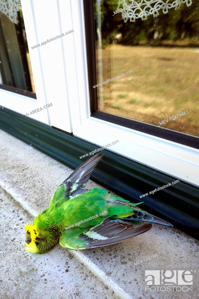 Stock Photo: Dead parakeet after hitting a window. For birds,.