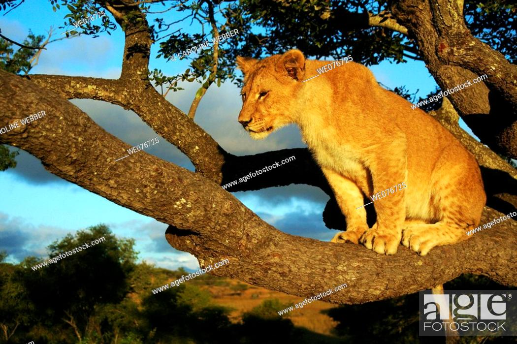 Stock Photo: Lion perched in tree.