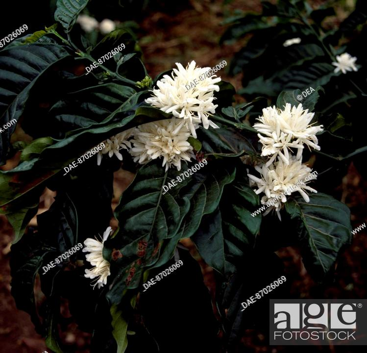 Stock Photo: Coffe flower (Coffea), Rubiaceae.