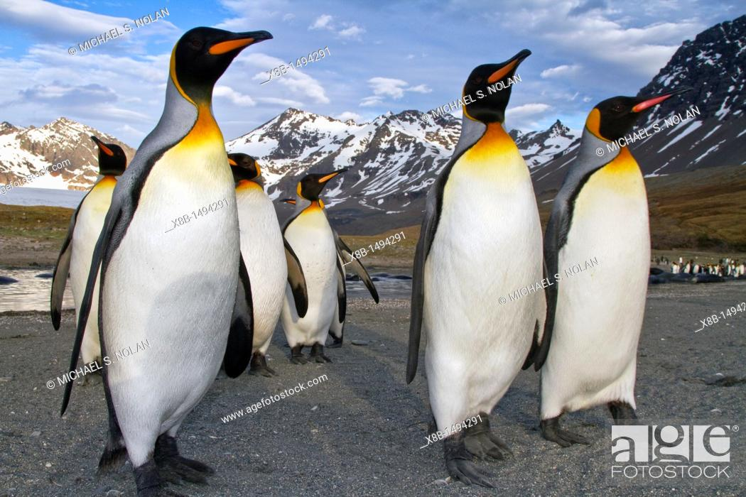 Imagen: King penguin Aptenodytes patagonicus breeding and nesting colony on South Georgia Island, Southern Ocean  MORE INFO The king penguin is the second largest.