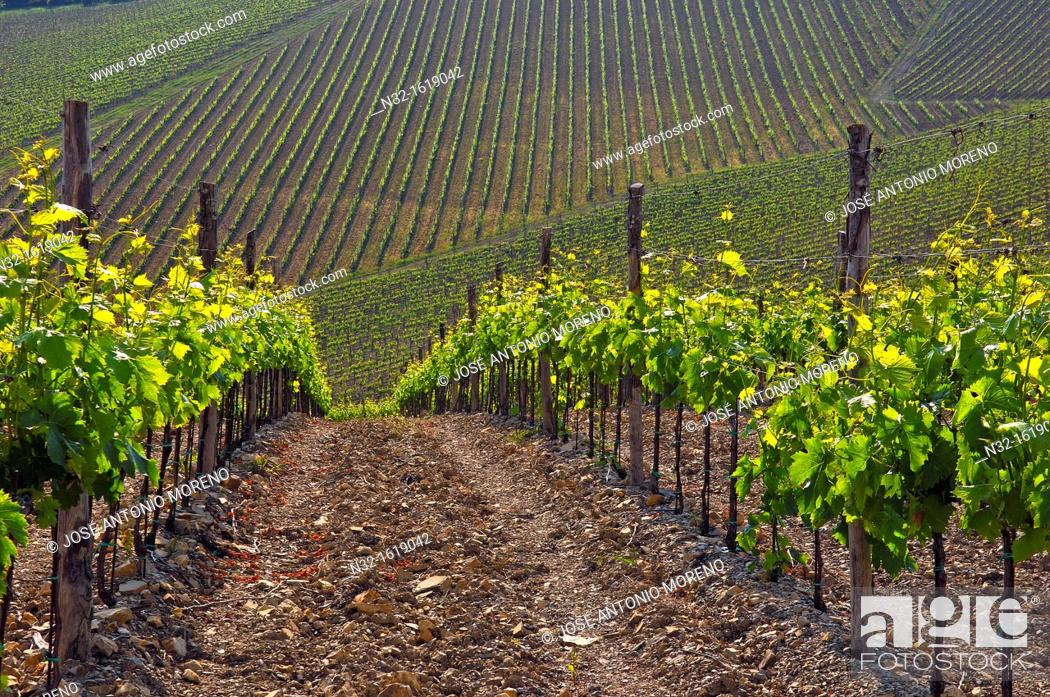 Stock Photo: Vineyards, Radda in Chianti, Chianti, Tuscany landscape, Siena Province, Tuscany, Italy.