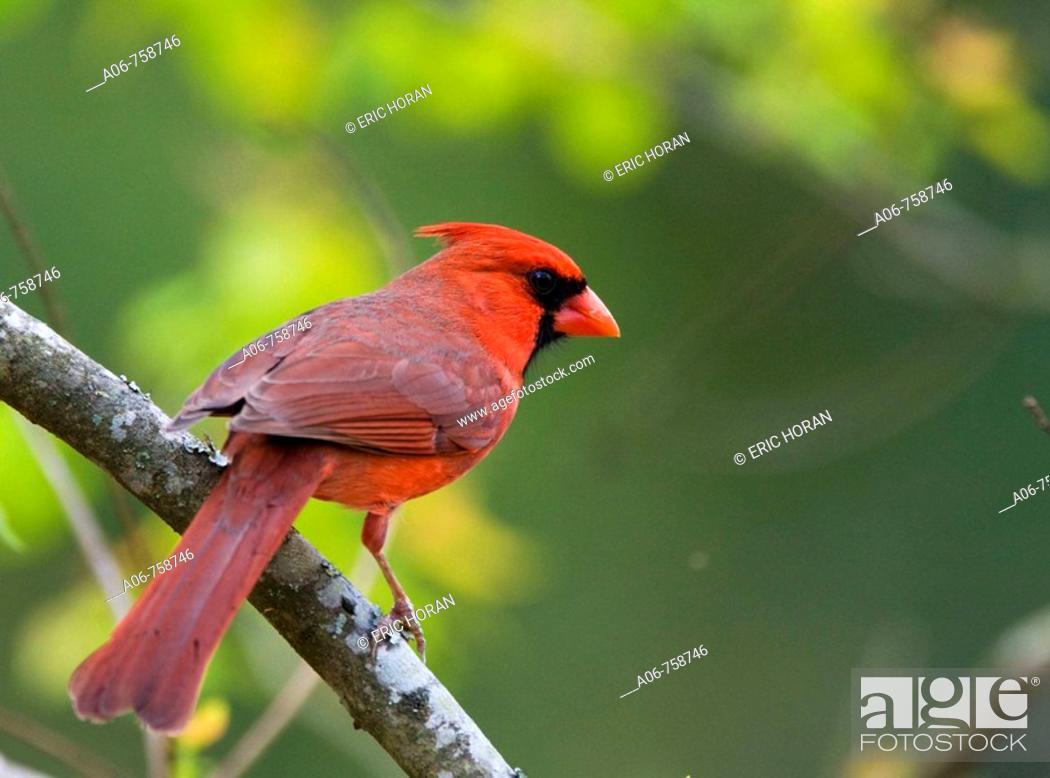 Stock Photo: Cardinal.