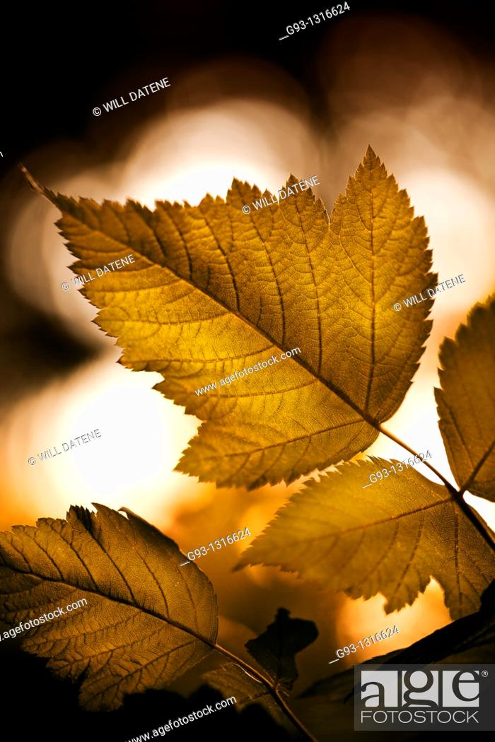 Stock Photo: Close up of leaf golden color.