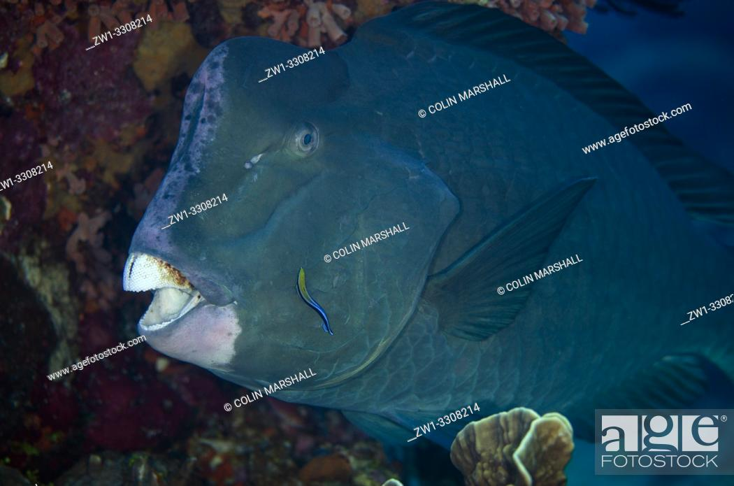 Stock Photo: Bumphead Parrotfish (Bulbometopon muricatum), Pulau Suanggi dive site, Ambon, Maluku (Moluccas), Indonesia.