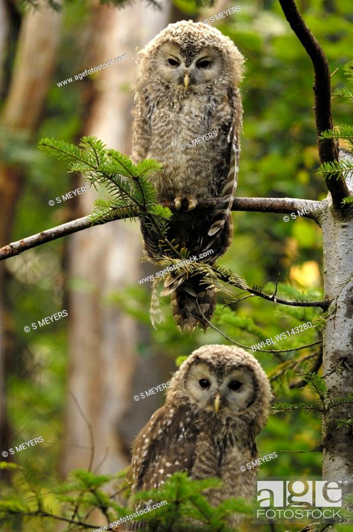 Stock Photo: ural owl Strix uralensis, two youngs sitting on a branch, Germany, Bavaria, Bavarian Forest.