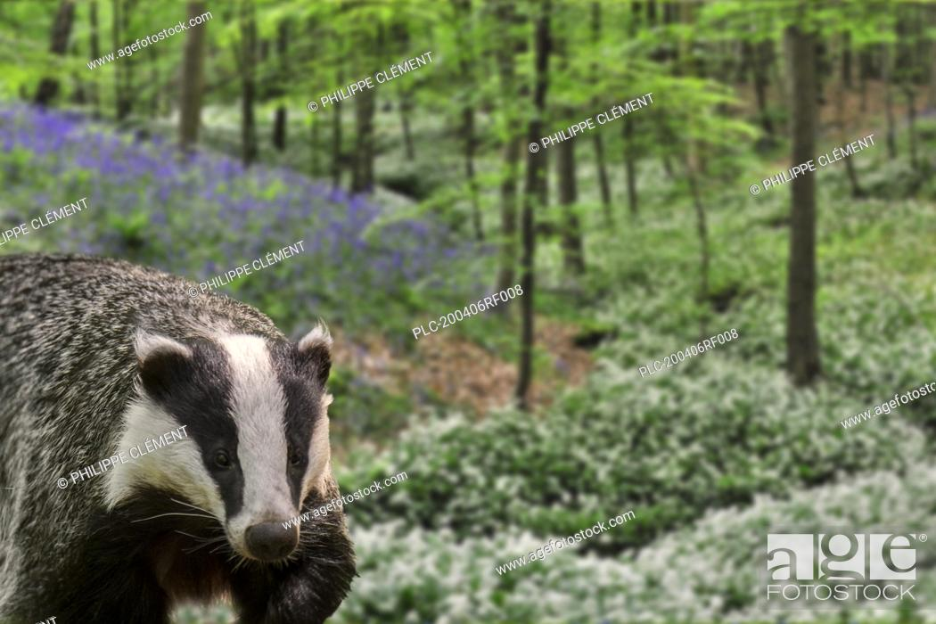 Stock Photo: European badger (Meles meles) foraging in beech forest with bluebells and wild garlic in flower in spring. Digital composite.