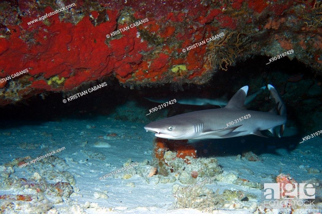 Stock Photo: White tip reef shark (Triaenodon obesus) under an overhang with red corals, Indian Ocean, Maldives, South Asia.