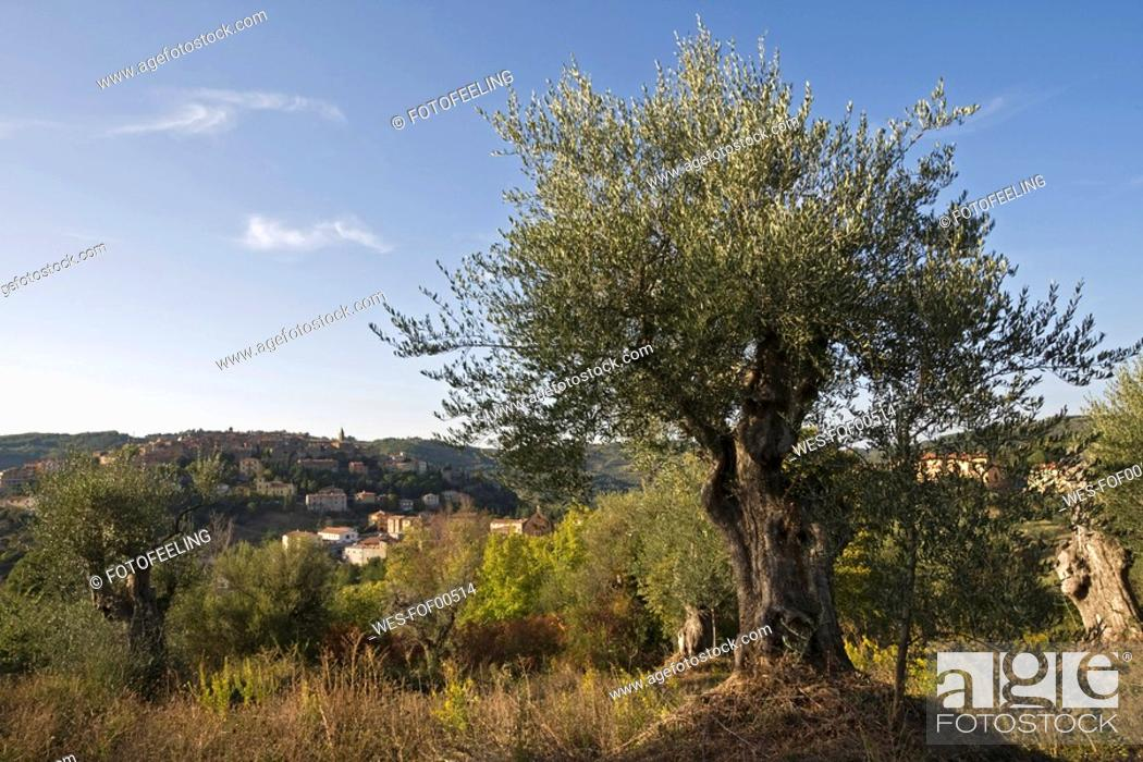 Stock Photo: Italy, Tuscany, Olive tree.