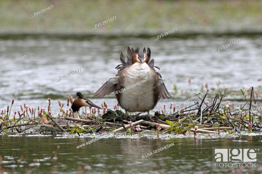 Stock Photo: Great Crested Grebes-Podiceps cristatus on nest. Uk.