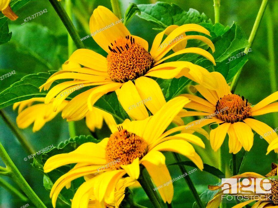 Stock Photo: yellow coneflower, echinacea.