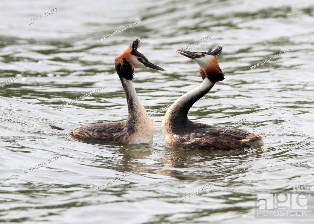 Stock Photo: Great Crested Grebe Sweden.