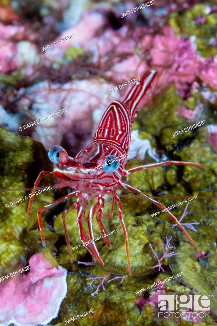 Stock Photo: Durban Dancing Shrimp, Rhynchocinetes durbanensis, Bali, Indonesia.