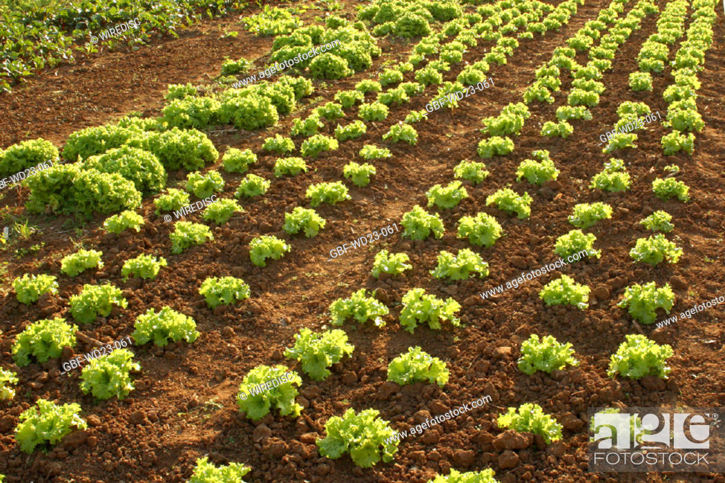 Stock Photo: Lettuce, plantations, agriculture, Brazil.