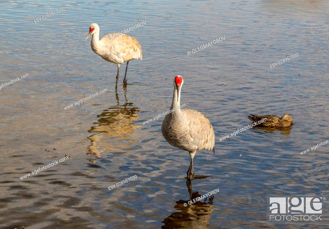 Stock Photo: Big gray bird with red head American crane on the Birnaby lake Canada.