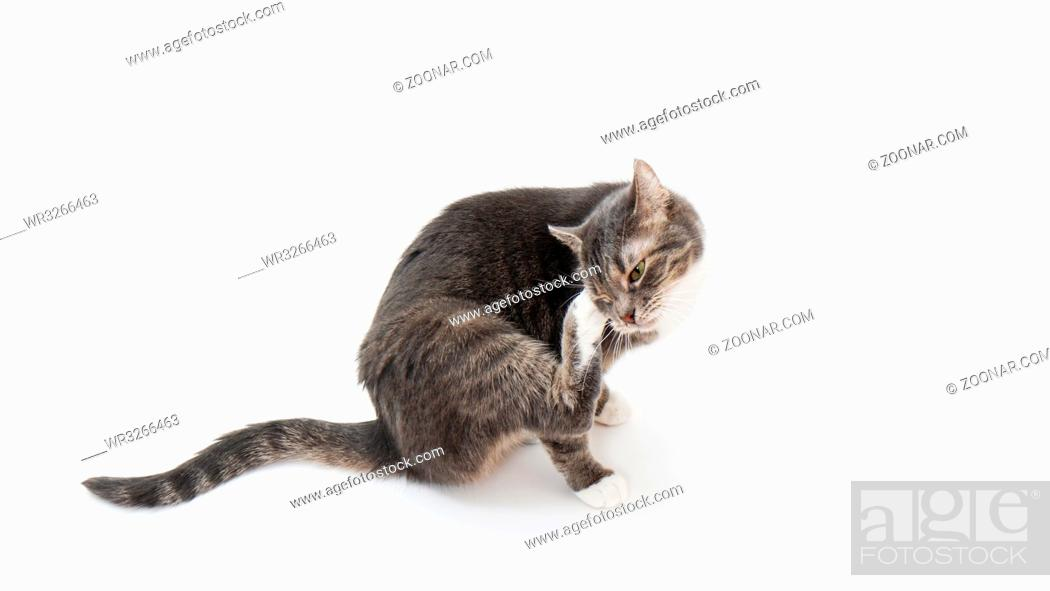 Imagen: tabby cat scratching its head or grooming on white background.