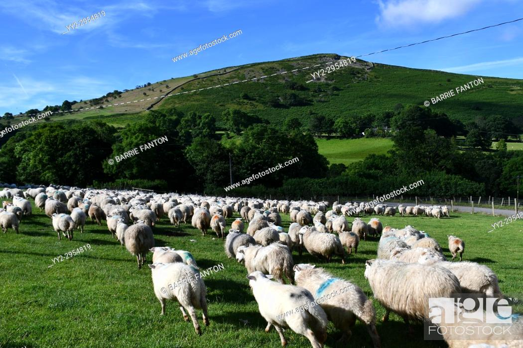 Stock Photo: Sheep Being Brought Down From Pastures to be Sheared, Sheep Farm, Snowdonia, Wales.