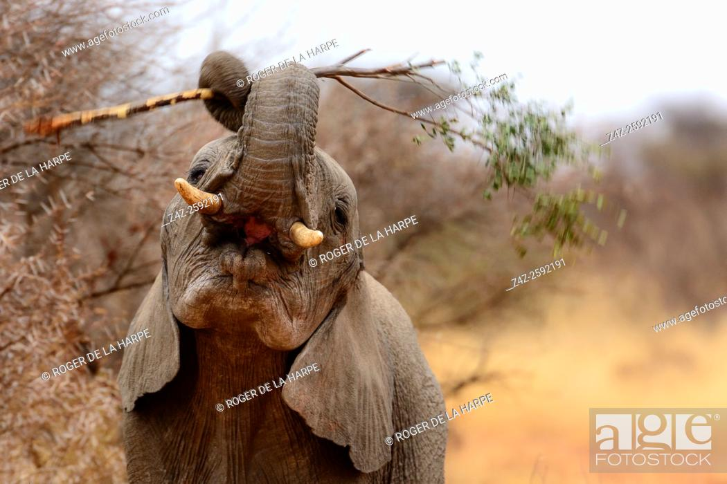 Stock Photo: African bush elephant (Loxodonta africana) playing with a branch. Madikwe Game Reserve. North West Province. South Africa.
