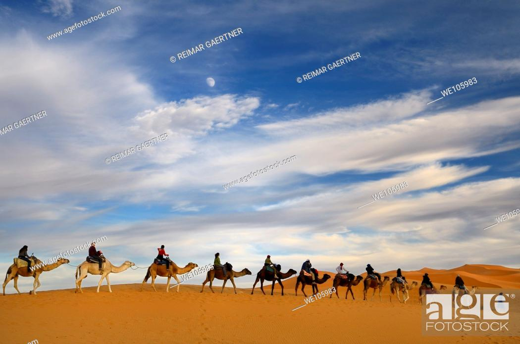 Stock Photo: Tuareg blue Berber man leading a group of camel riders to the Erg Chebbi desert in Morocco with moon.