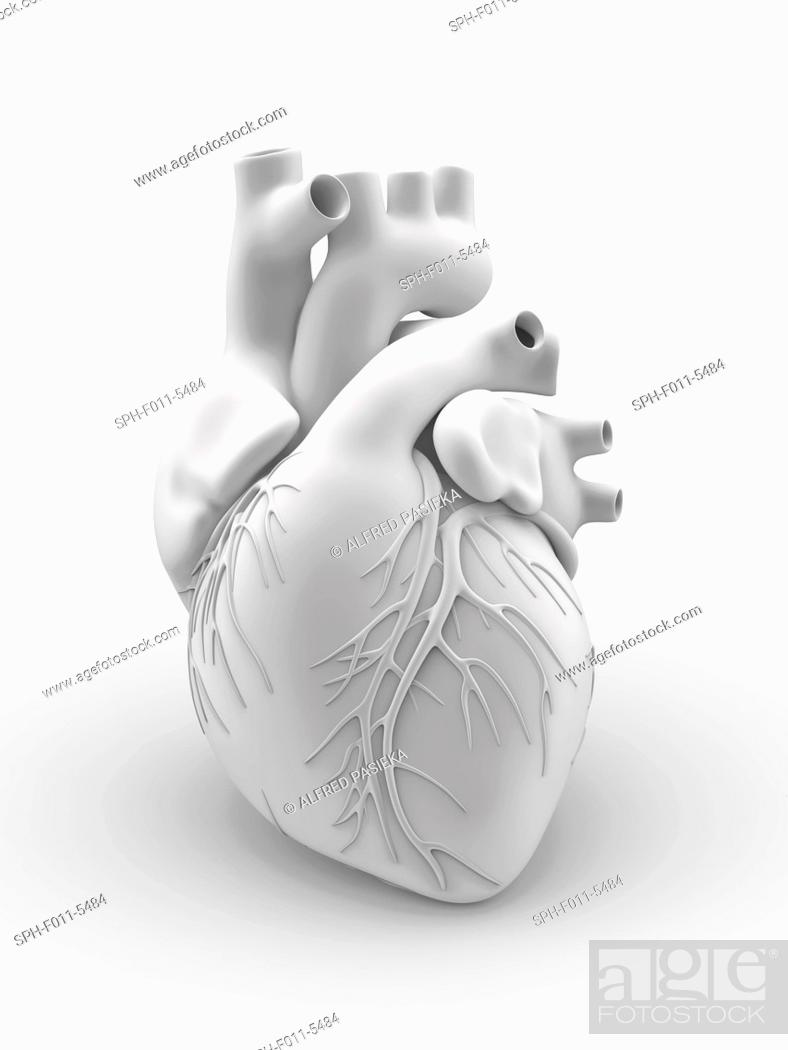 Heart and coronary arteries. Artwork of the external anatomy of a ...
