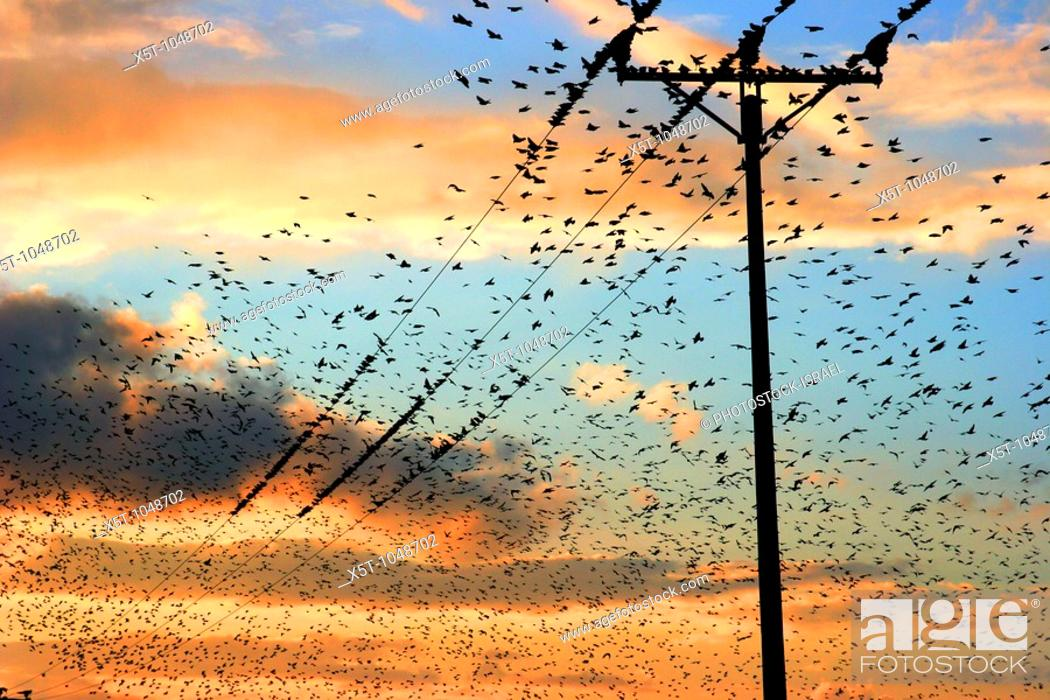 Stock Photo: Israel, Galilee a flock of birds at sunset.