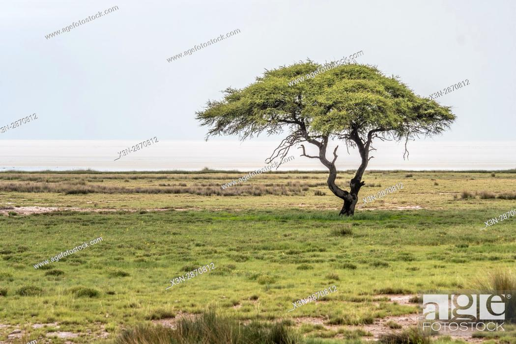 A Lone Umbrella Thorn Acacia Tree In The Grasslands Of Etosha