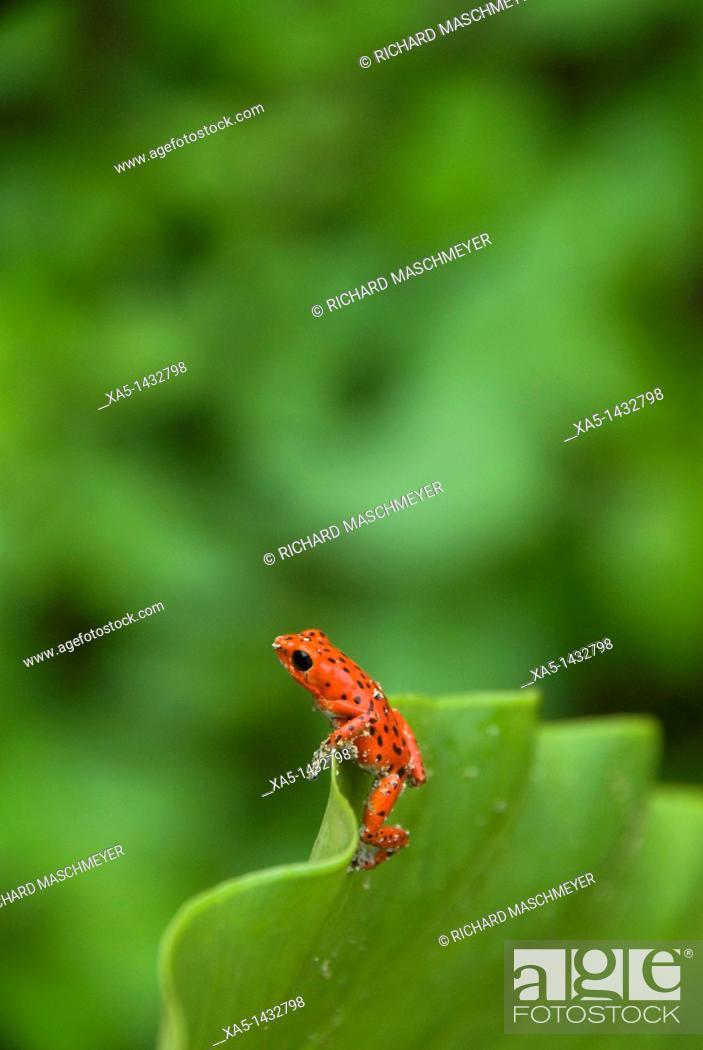 Stock Photo: Poison Dart Frog, Red Frog Beach, Isla Bastimentos, Bocas del Toro, Panama.