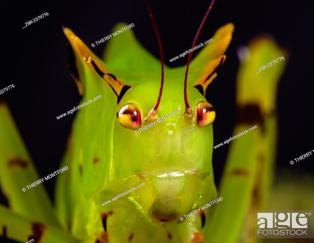 Stock Photo: Big grasshopper larva. Rainforest. French Guiana.
