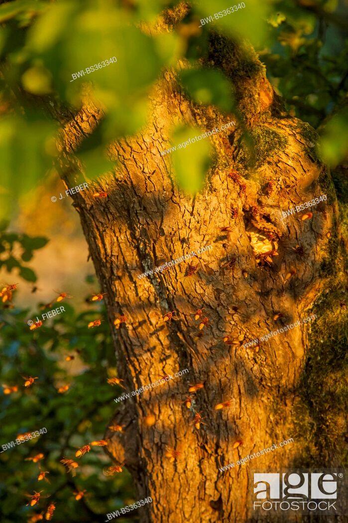 Imagen: hornet, brown hornet, European hornet (Vespa crabro), hornet nest in a knothole of an apple tree, Germany, Rhineland-Palatinate.