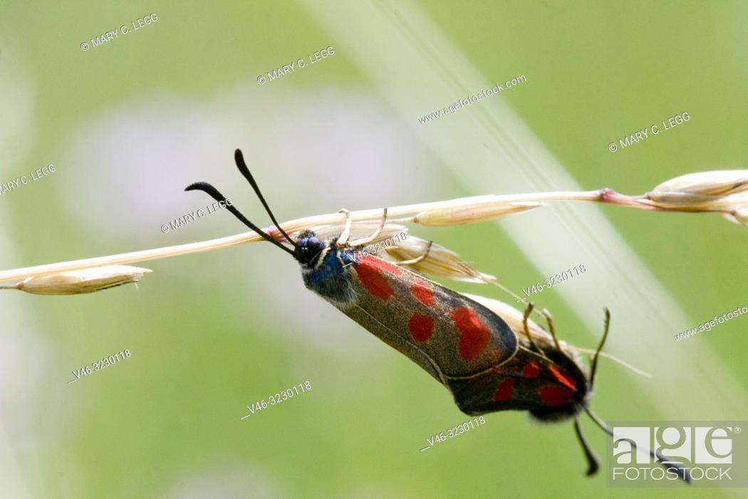 Stock Photo: Slender Scotch Burnet, Zygaena loti. Blackish moth with red spots. Wingspan 25-35mm. Flight: June-August. Day-flying moth that inhabits dry scrubland.