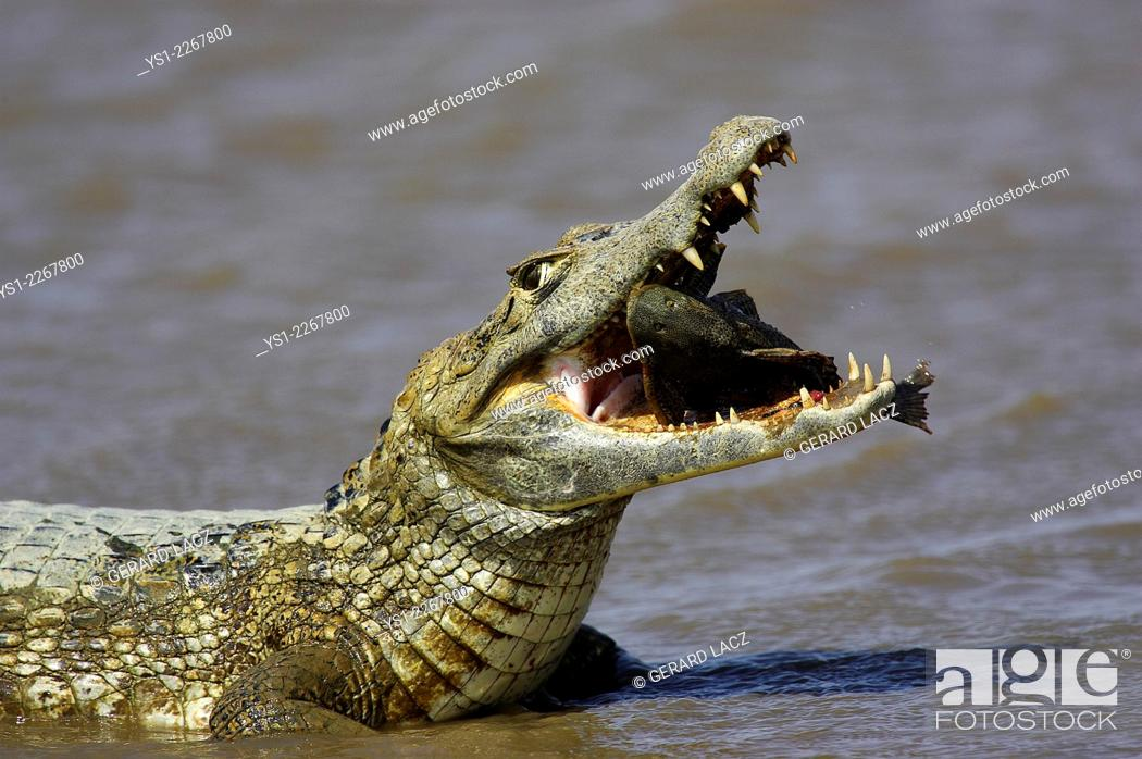 Stock Photo: Spectacled Caiman, caiman crocodilus, with a Fish in its Mouth, Los Lianos in Venezuela.