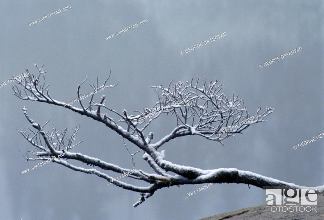 Stock Photo: Branch snag in fog at Snow Lake, Mt Rainier National Park, WA.