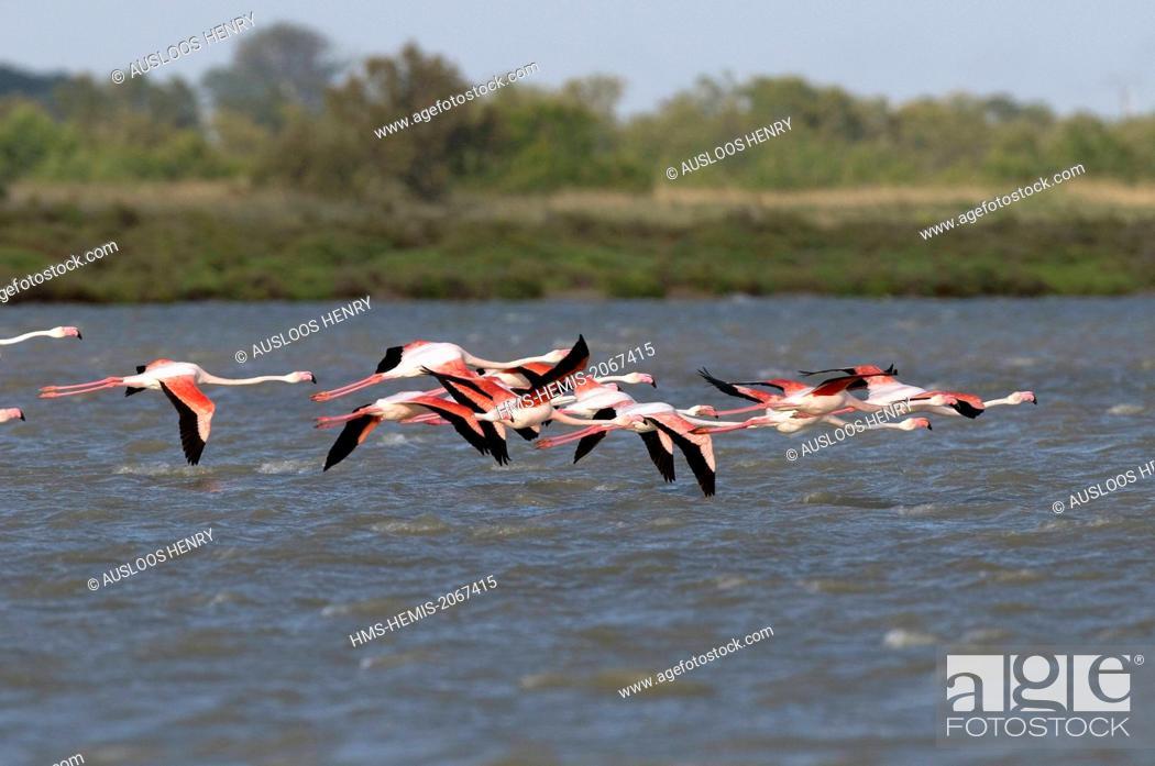 Stock Photo: France, Camargue, Great Flamingo (Phoenicopterus roseus), in flight.