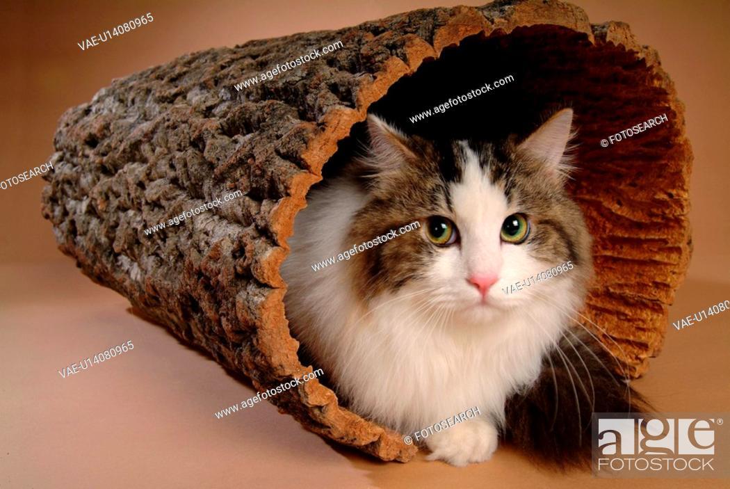 Stock Photo: companion, turkishangora, closeup, close up, domestic animal, feline, cat.