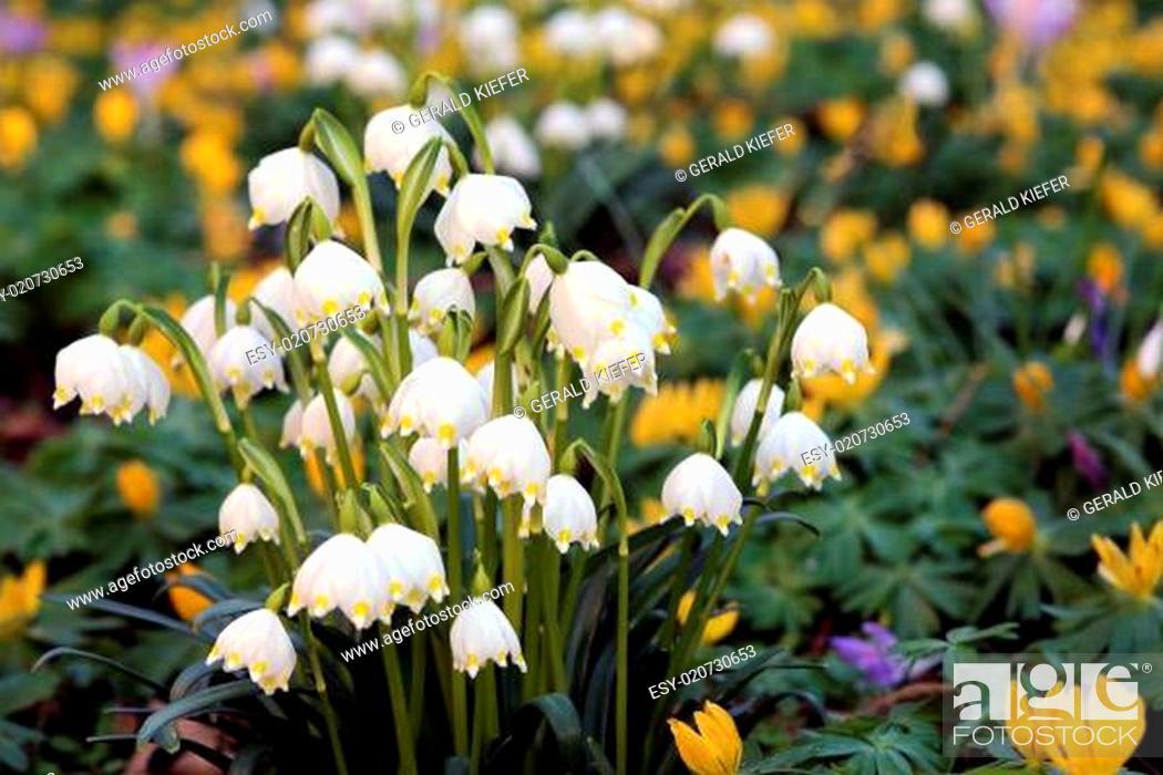 Stock Photo: Frühlings-Knotenblume Leucojum vernum.