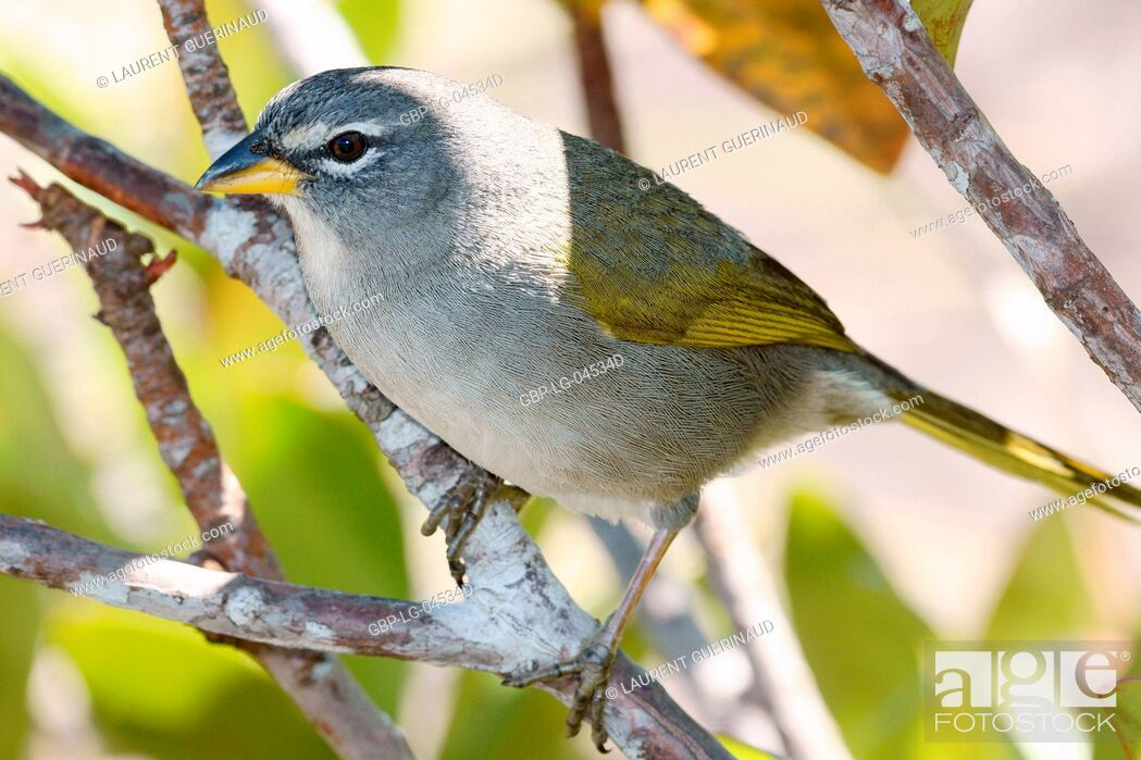 Stock Photo: Bird, Tail-soft-give-mountain, Chapada Diamantina, Bahia, Brazil.
