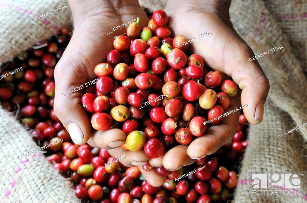 Imagen: fresh red coffee berries in a palm, Jimma, Kaffa Region, Oromiya, Ethiopia, Africa.