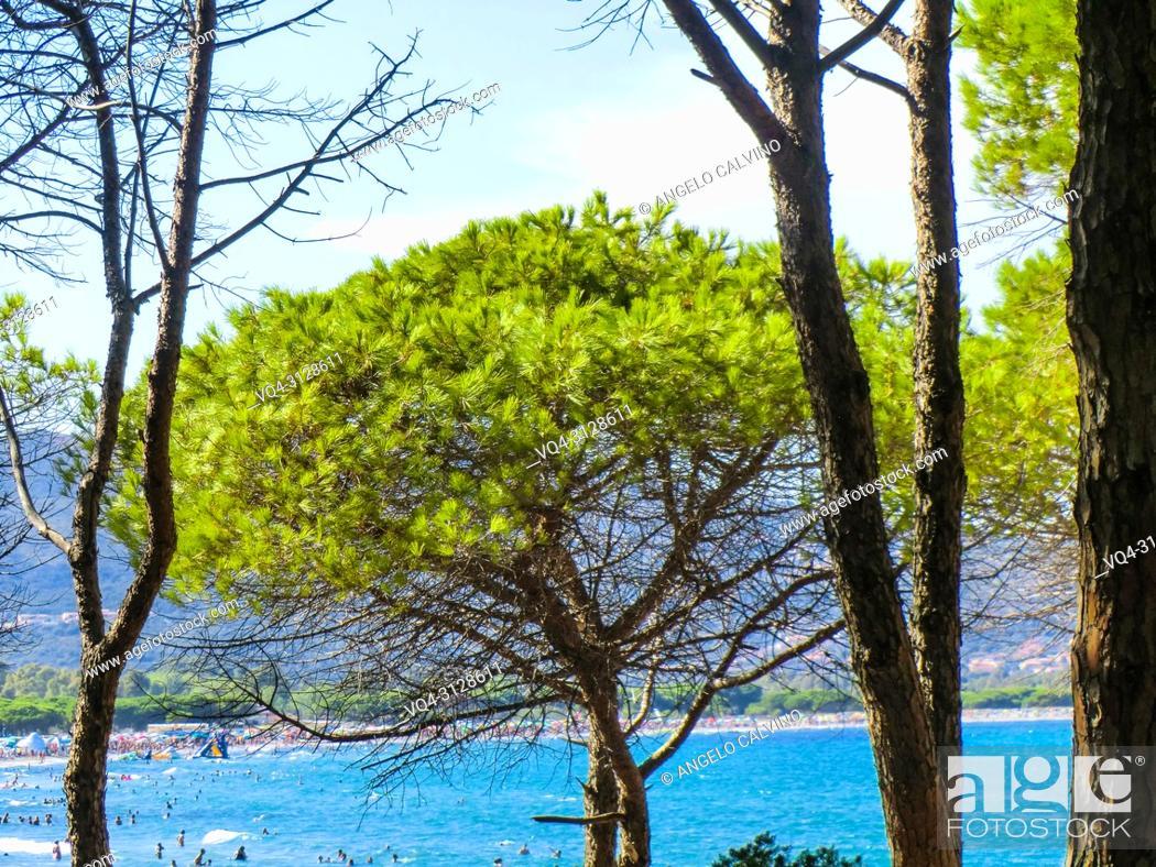 Stock Photo: Pines at the beach of Porto Ainu, near Budoni, Gallura, East Sardinia, Sardinia, Italy, Europe.